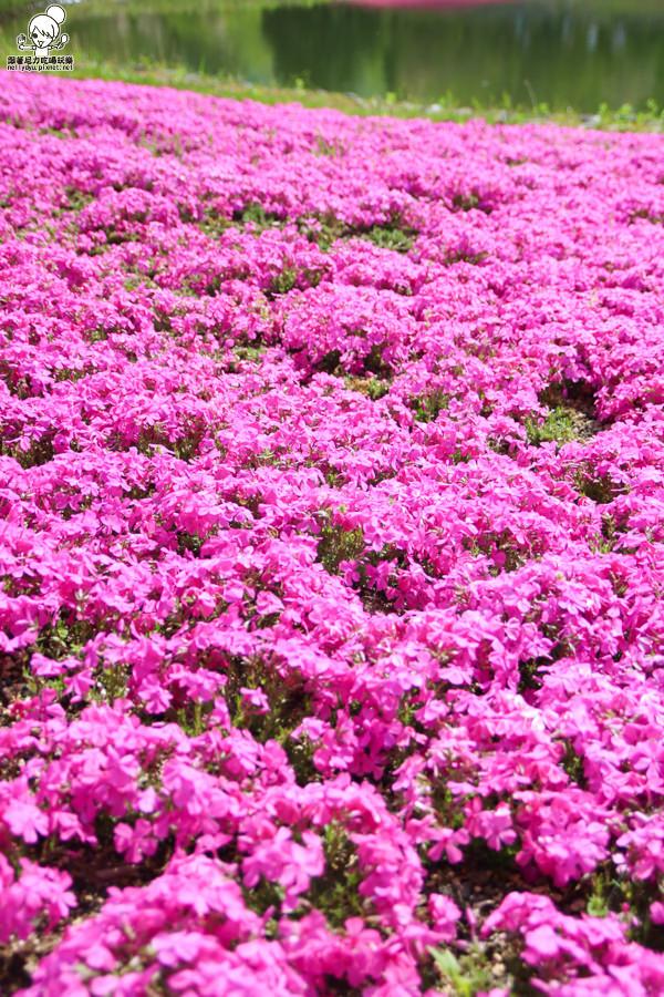 富士芝櫻祭 日本旅遊 日本必遊 推薦富士芝櫻-1116.jpg
