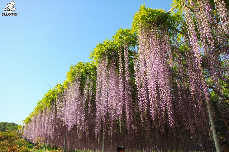 日本紫藤花 浪漫紫藤-0492.jpg